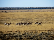 The pronghorn's gait can reach 24 ft. per stride.