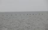 Little sea birdies, all in a line.