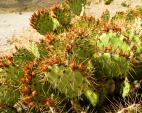 Prickly Pear Cactus, buds