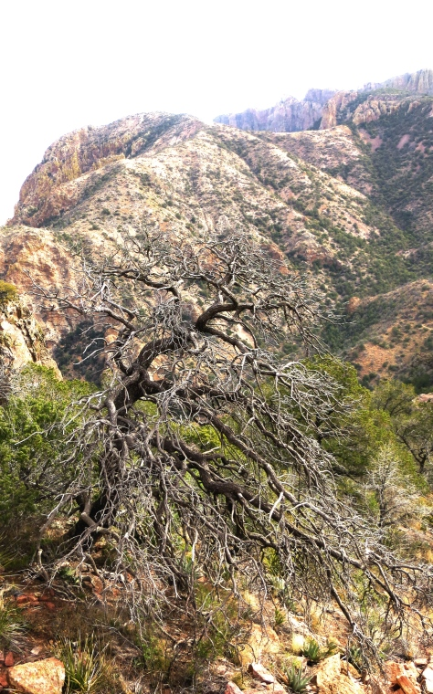 Weatehered wood, Chisos Mountains.