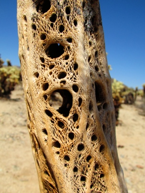 Trunk of a Cholla Cactus. Joshua Tree National Park, CA.