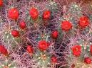 Desert Flowers. Joshua Tree National Park.