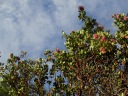 Manzanitas in bloom.
